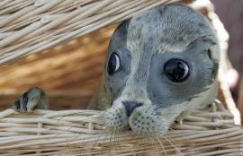 Uma foca na cesta